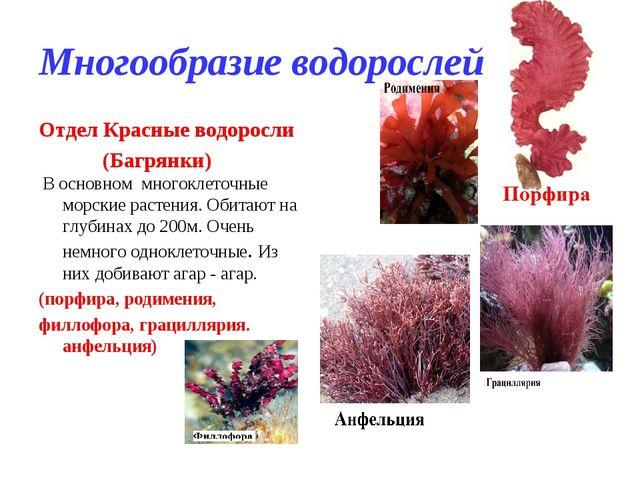 Многообразие водорослей Отдел Красные водоросли (Багрянки) В основном многокл...