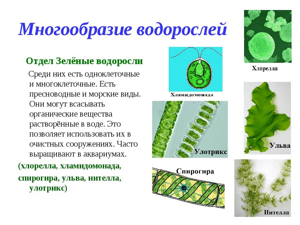 Многообразие водорослей Отдел Зелёные водоросли Среди них есть одноклеточные...