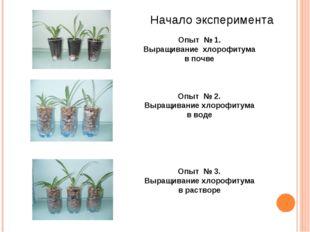 Опыт № 1. Выращивание хлорофитума в почве Опыт № 2. Выращивание хлорофитума