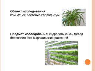 Объект исследования: комнатное растение хлорофитум Предмет исследования: гидр