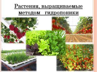 Растения, выращиваемые методом гидропоники