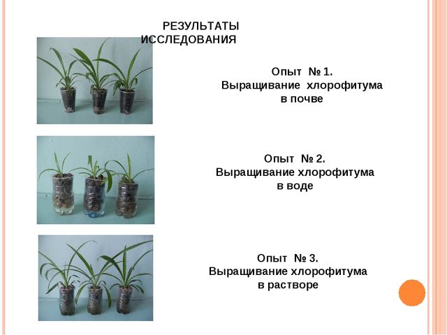 РЕЗУЛЬТАТЫ ИССЛЕДОВАНИЯ Опыт № 1. Выращивание хлорофитума в почве Опыт № 2. В...