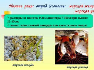 Низшие раки: отряд Усоногие: морской желудь, морская уточка морской желудь м