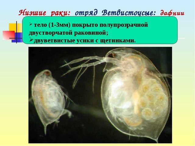 Низшие раки: отряд Ветвистоусые: дафнии тело (1-3мм) покрыто полупрозрачной д...