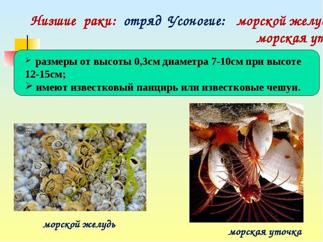 Низшие раки: отряд Усоногие: морской желудь, морская уточка морской желудь м...