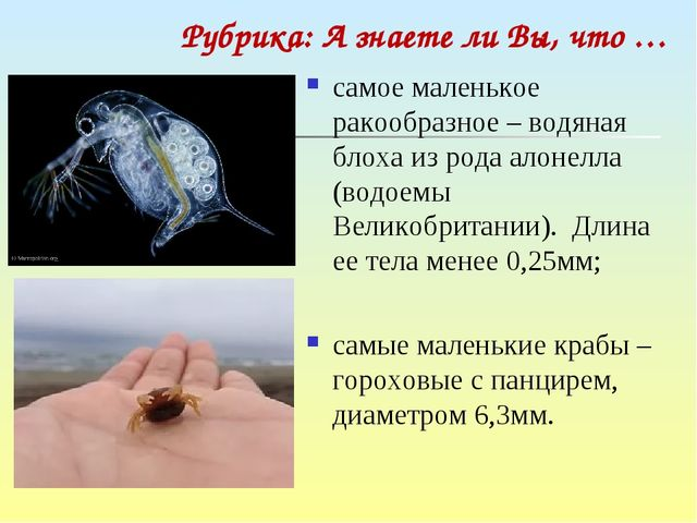 самое маленькое ракообразное – водяная блоха из рода алонелла (водоемы Велико...