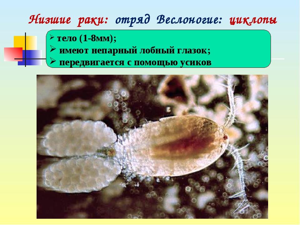Низшие раки: отряд Веслоногие: циклопы тело (1-8мм); имеют непарный лобный г...