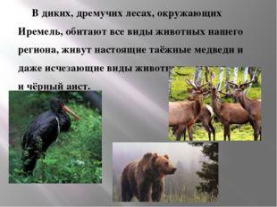 В диких, дремучих лесах, окружающих  Иремель, обитают все виды животн