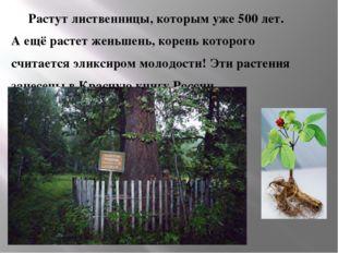 Растут лиственницы, которым уже 500 лет.  А ещё растет женьшень, корень кото