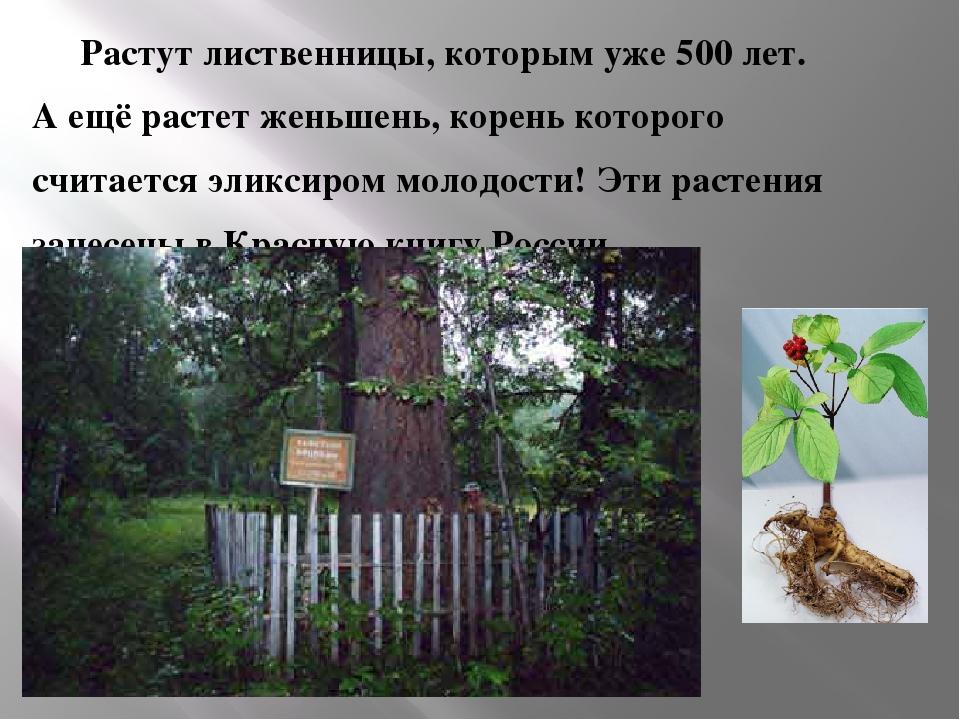 Растут лиственницы, которым уже 500 лет.  А ещё растет женьшень, корень кото...