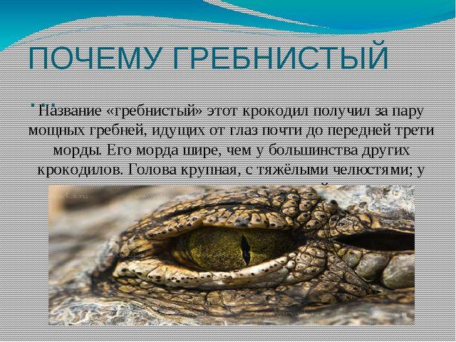 ПОЧЕМУ ГРЕБНИСТЫЙ … Название «гребнистый» этот крокодил получил за пару мощны...