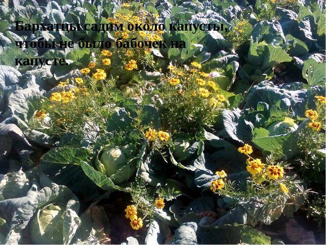 Бархатцы садим около капусты, чтобы не было бабочек на капусте.