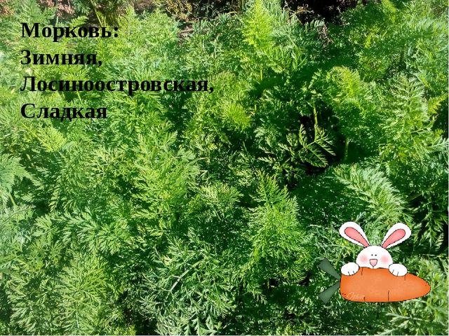 Морковь: Зимняя, Лосиноостровская, Сладкая