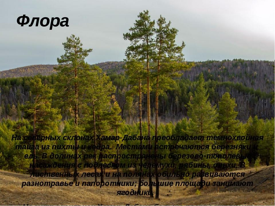 Флора На северных склонах Хамар-Дабана преобладаеттемнохвойная тайга из пихт...