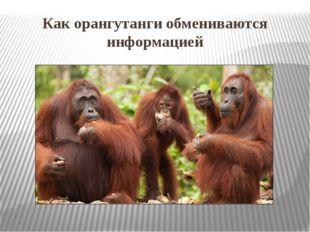 Как орангутанги обмениваются информацией