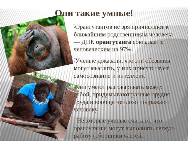 Они такие умные! Орангутангов не зря причисляют к ближайшим родственникам чел...