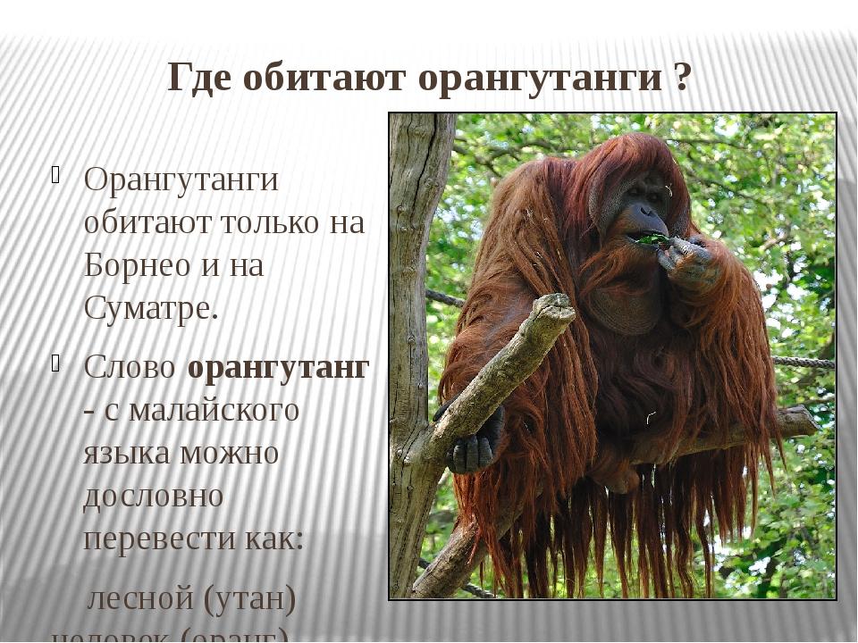 Где обитают орангутанги ? Орангутанги обитают только на Борнео и на Суматре....