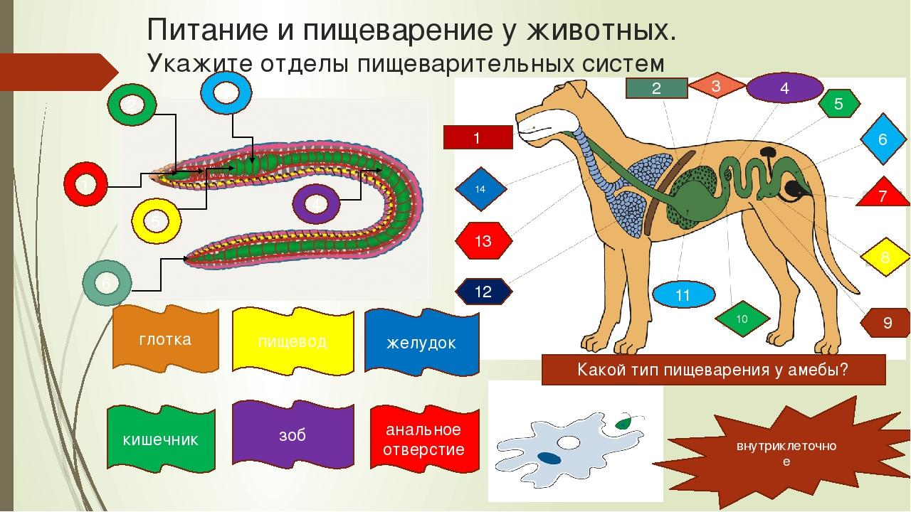 Питание и пищеварение у животных. Укажите отделы пищеварительных систем 1 2 1...
