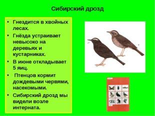 Сибирский дрозд Гнездится в хвойных лесах. Гнёзда устраивает невысоко на дере