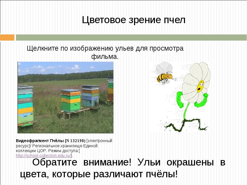Цветовое зрение пчел Видеофрагмент Пчёлы (N 132190) [электронный ресурс]/ Рег...