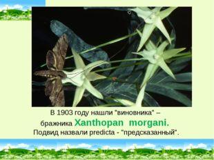 """В 1903 году нашли """"виновника"""" – бражника Xanthopan morgani. Подвид назвали pr"""