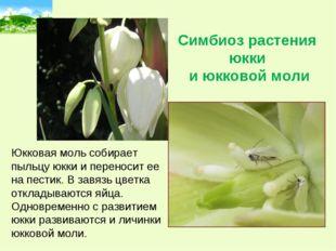 Симбиоз растения юкки и юкковой моли Юкковая моль собирает пыльцу юкки и пере