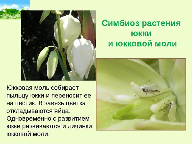 Симбиоз растения юкки и юкковой моли Юкковая моль собирает пыльцу юкки и пере...