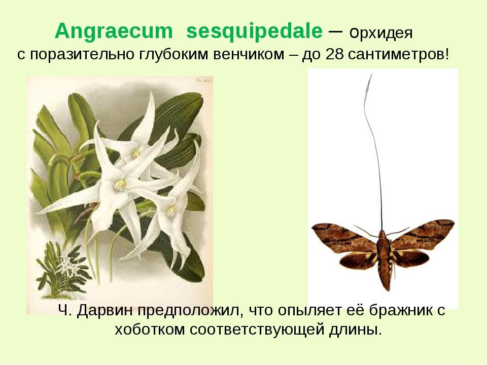 Angraecum sesquipedale – орхидея с поразительно глубоким венчиком – до 28 сан...