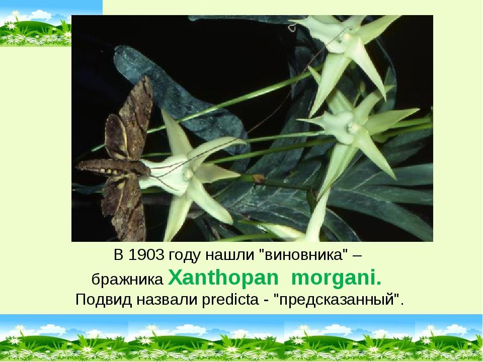 """В 1903 году нашли """"виновника"""" – бражника Xanthopan morgani. Подвид назвали pr..."""