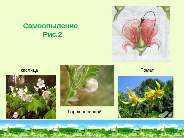Горох посевной Самоопыление Рис.2 Томат кислица