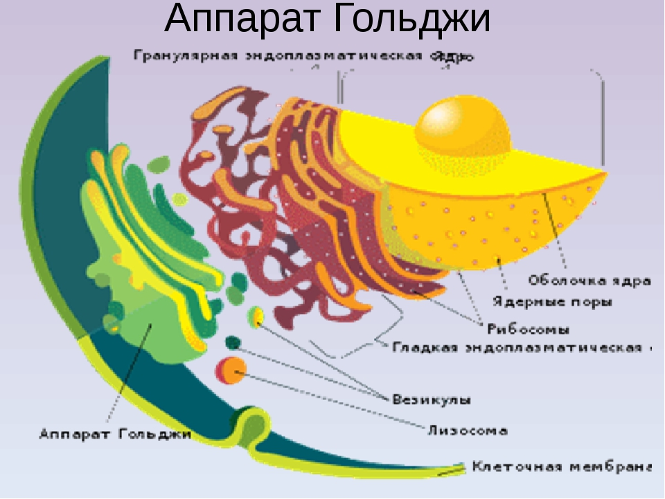 golgi apparatus Golgi apparatus: golgi apparatus, organelle of eukaryotic cells that is responsible for transporting, modifying, and packaging proteins and lipids.