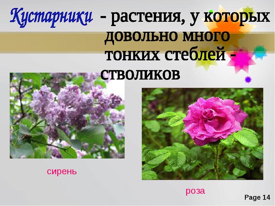 сирень роза Page *
