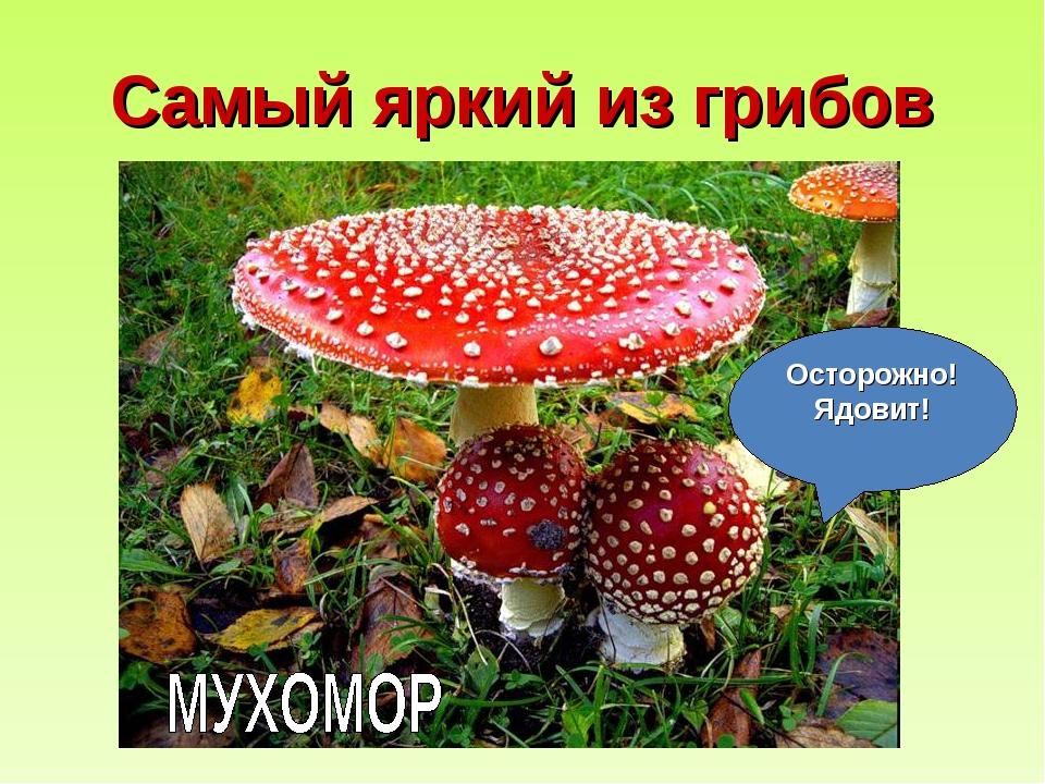 Самый яркий из грибов Осторожно! Ядовит!