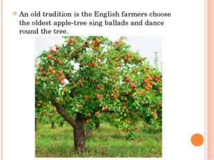 An old tradition is the English farmers choose the oldest apple-tree sing ba