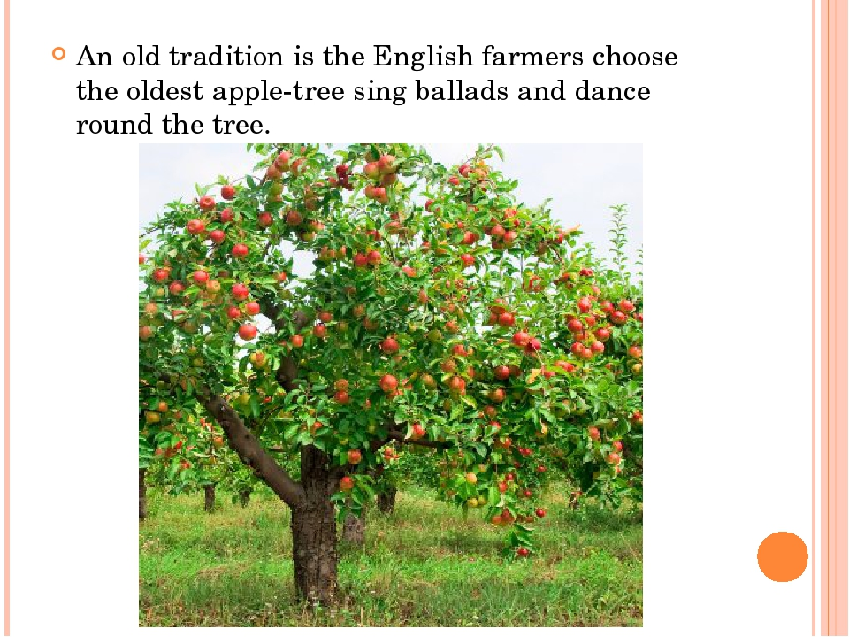 An old tradition is the English farmers choose the oldest apple-tree sing ba...