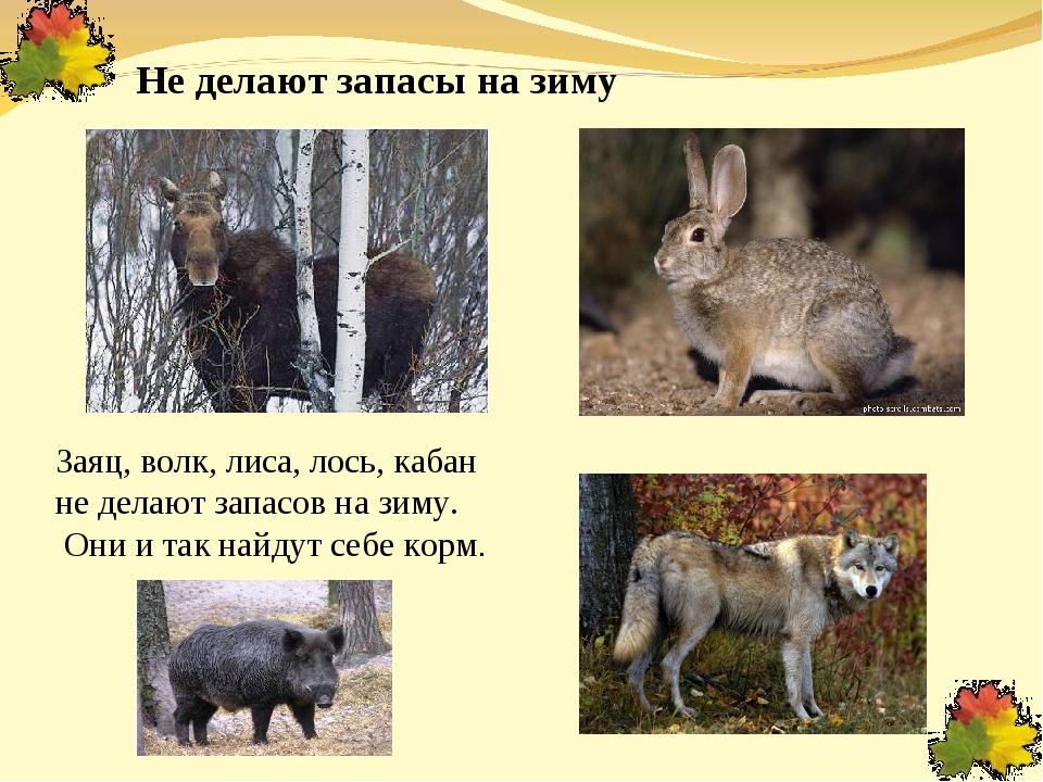 Не делают запасы на зиму Заяц, волк, лиса, лось, кабан не делают запасов на з...