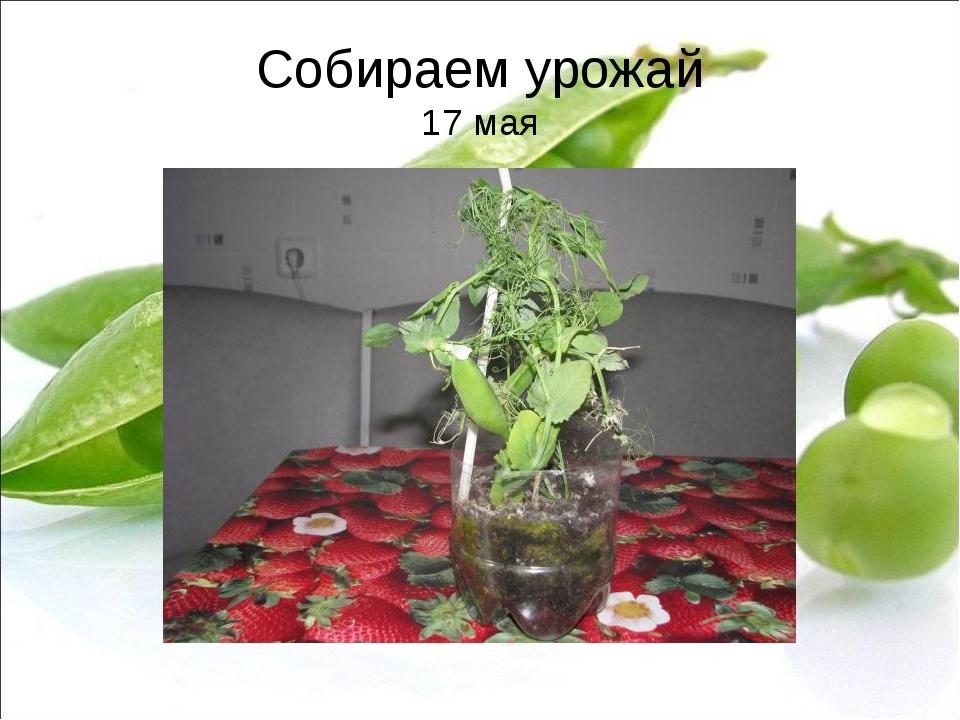 Собираем урожай 17 мая