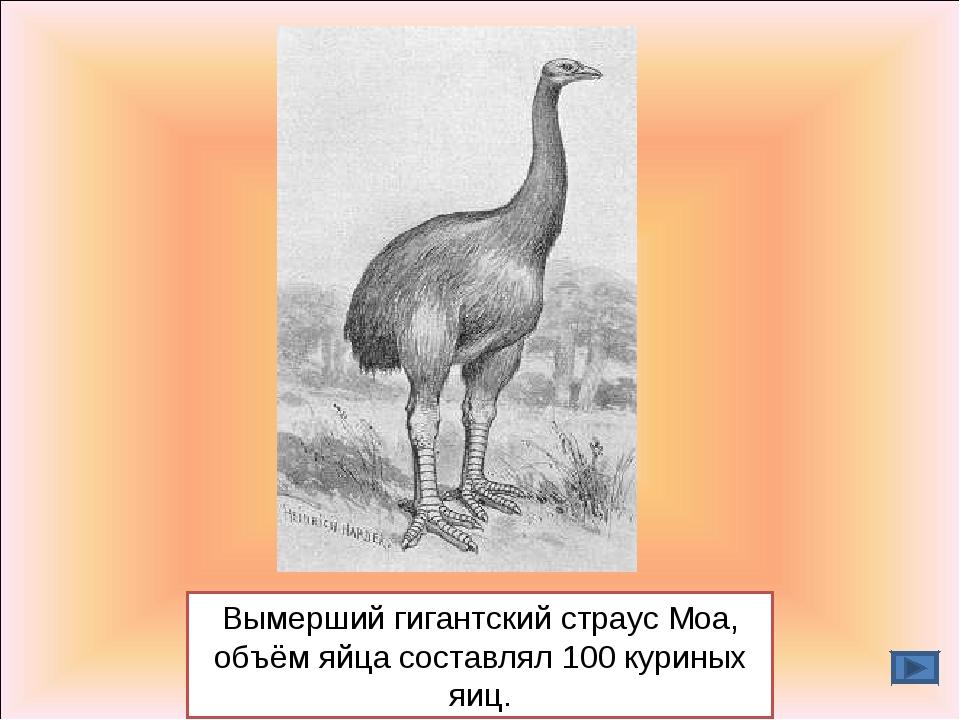 Вымерший гигантский страус Моа, объём яйца составлял 100 куриных яиц.