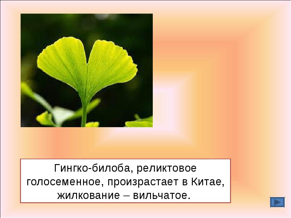 Гингко-билоба, реликтовое голосеменное, произрастает в Китае, жилкование – ви...