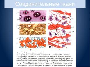 Соединительные ткани