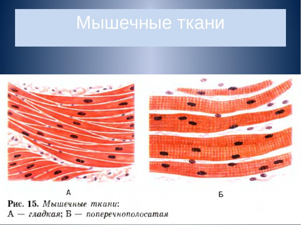 Мышечные ткани