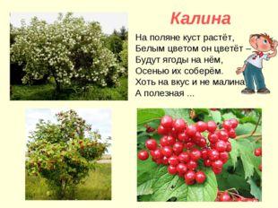 Калина На поляне куст растёт, Белым цветом он цветёт – Будут ягоды на нём, О