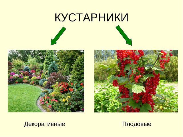 КУСТАРНИКИ Декоративные Плодовые