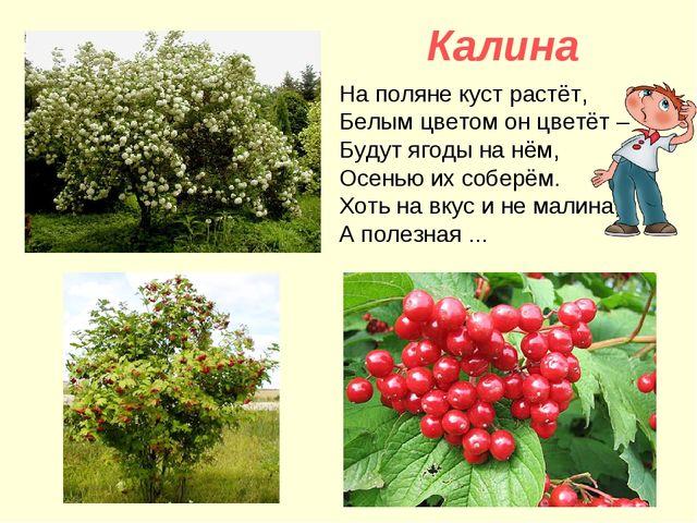 Калина На поляне куст растёт, Белым цветом он цветёт – Будут ягоды на нём, О...