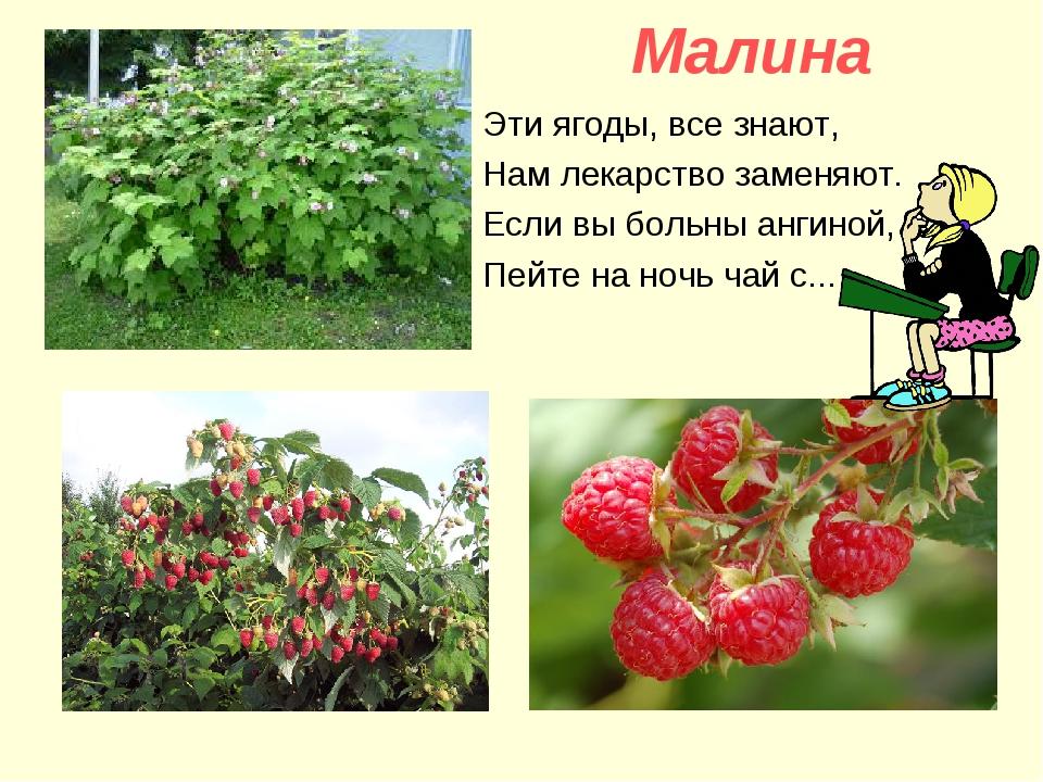 Малина Эти ягоды, все знают, Нам лекарство заменяют. Если вы больны ангиной,...