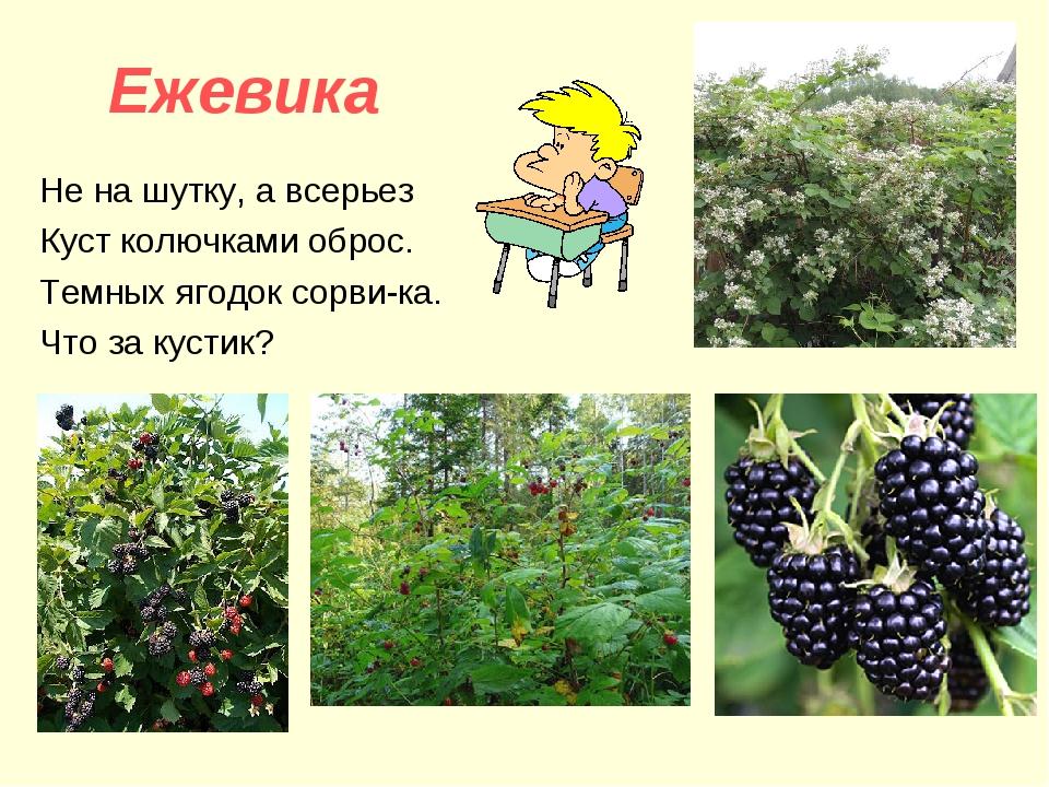 Ежевика Не на шутку, а всерьез Куст колючками оброс. Темных ягодок сорви-ка....