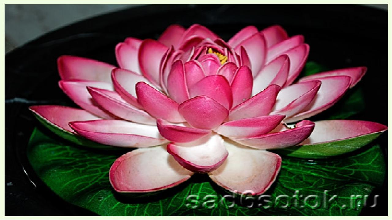 Лотос — цветок солнца.