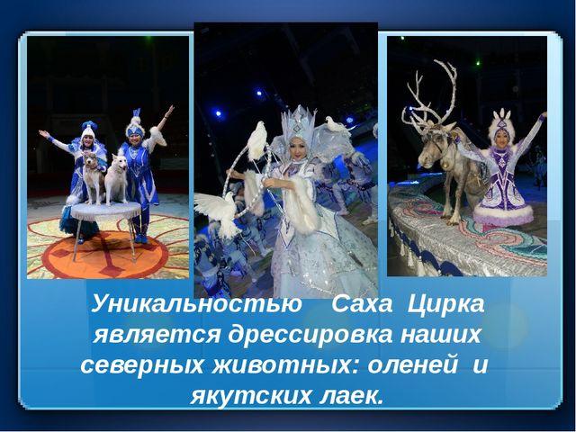 Уникальностью Саха Цирка является дрессировка наших северных животных: оленей...