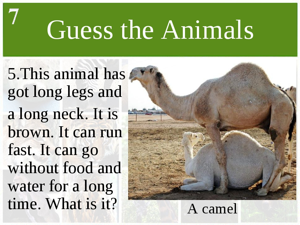 Guess the Animals 5.This animal has got long legs and a long neck. It is brow...