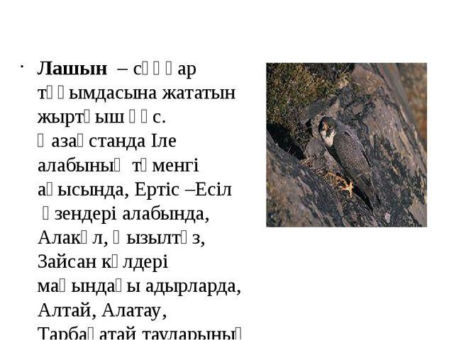 Лашын – сұңқар тұқымдасына жататын жыртқыш құс. ҚазақстандаІле алабыныңтөм...